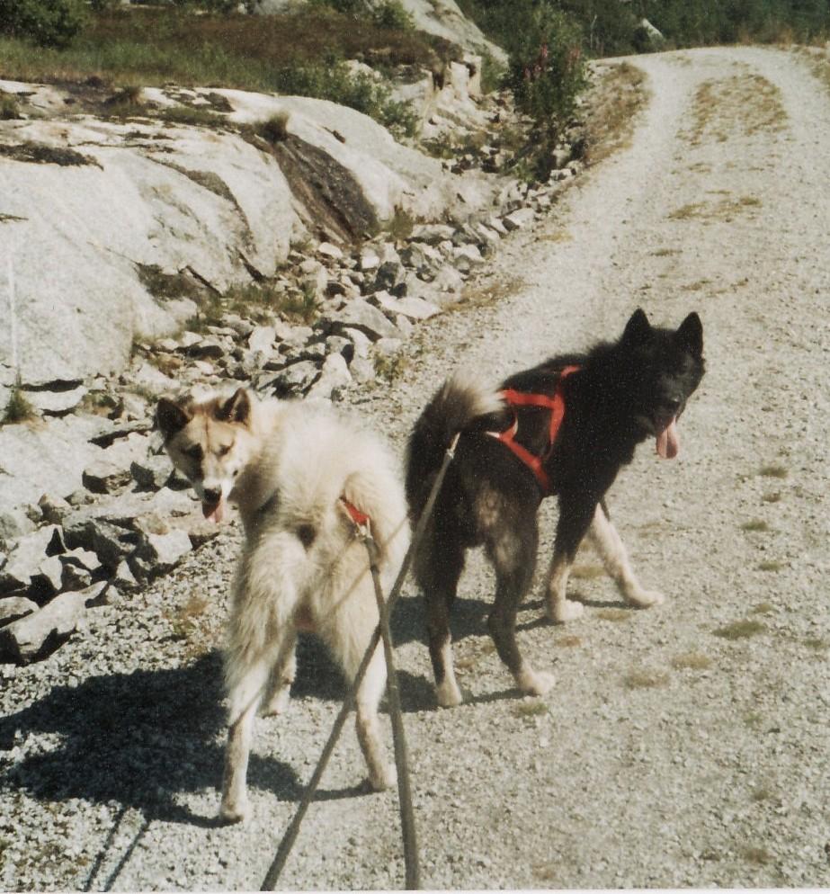 flere hunder foran en slede
